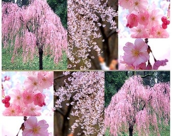 JAPANESE Weeping Cherry Tree Seed - Prunus subhirtella pendula Seeds - Weeping Variety From JAPAN - Clusters Of Flowers - Zone 5 - 8