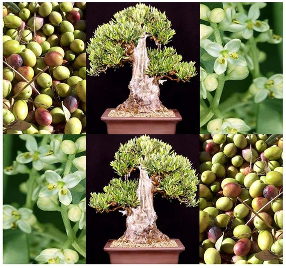 Olive tree olea europaea seed seeds great for bonsai for Growing olive tree indoors