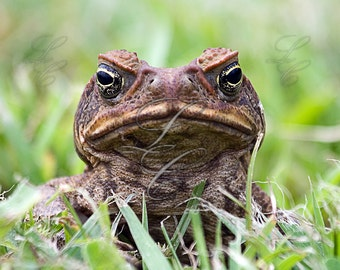 Downloadable Fine Art Photograph - Nature, Wildlife, Toad