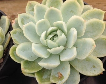 succulent plant echeveria elegans mexican snowball produces yellow ...