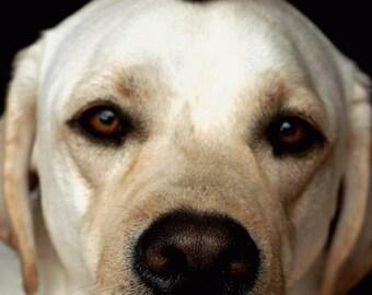 Pet, Dog Photography.  Yellow Labrador Retriever Photography. 8x12 Print