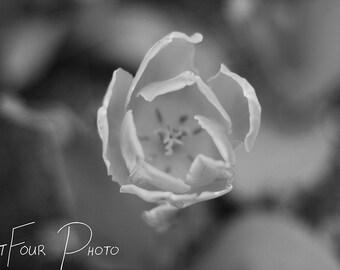 Photo Print, Black and White Tulip Photograph, Flower Photograph, Home Decor, Fine Art Print, Nature Photography, Macro Photograph