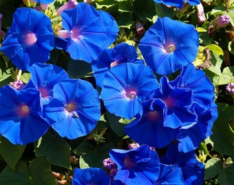 Morning Glory ipomoea blue  flower 10 seeds