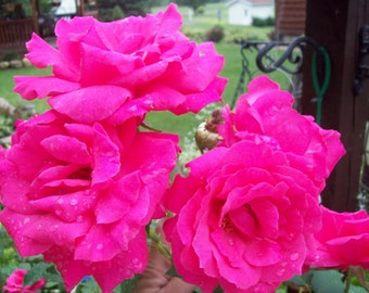 "Bright Pink Heirloom Roses 6 UNROOTED 6-10"" Cuttings Bush/shrub easy to root ~"