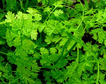 Chervil organic seeds 3.50gr 1200 - 1300 seesds