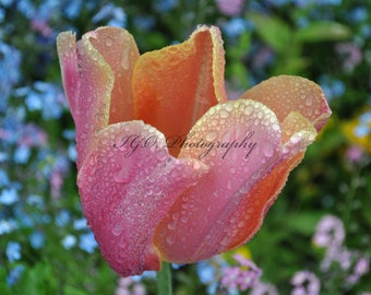 Floral Photography - Orange and Pink Tulip with Rain Drops -  Monet's Garden - Giverny France -Travel Photography - Fine Art