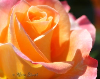 Yellow with Pink Rose, Close Up Fine Art 4 X 5 or 8 X 10 Print