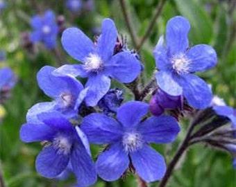 Blue Angel Anchusa Flower Seeds / Perennial 30+