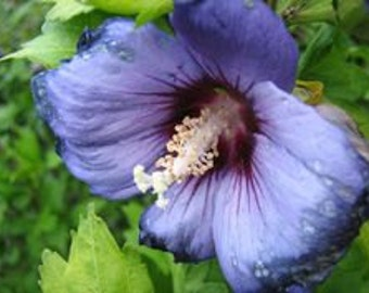 Purple Hollyhock Flower Seeds / Alcea / Perennial  50+