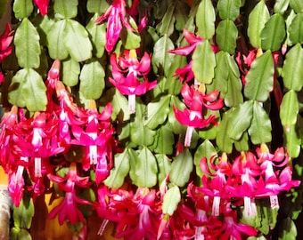 Christmas Cactus * Schlumbera Truncata * Thanksgiving Cactus * 5 Fresh Seeds RARE