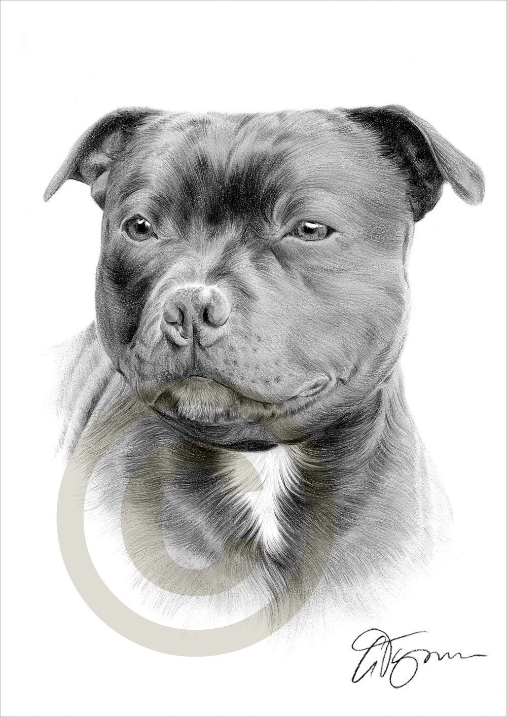 Dog staffordshire bull terrier pencil drawing print a4 size - Dessin de pitbull ...