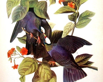 White Crowned Pigeon, Orange Crowned Warbler - Audubon Birds 12 x 9 - 1942 Vintage Book Page