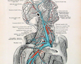 Human Anatomy - Veins of the Head, Neck and Axilla - 1933 Human Anatomy Book Page - 10 x 7