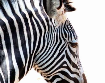 Zebra Art Photograph Black and White Strips in Color Beautiful Zoo Room Decor Wall Art - Zebra - a Fine Art Photograph