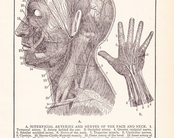 1905 Human Anatomy Print - Nerves of Face and Hand - Vintage Antique Art Illustration Book Plate Natural Science 100 Years Old