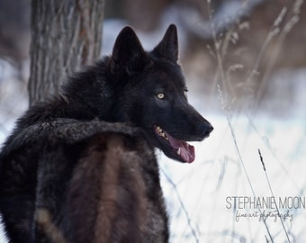 Print of a Black Wolf, Wolf Photography, Wolf Picture, Wildlife Photography, Picture of Wolf, Black Wolf