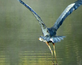 Great Blue Heron in flight / Monet Morning