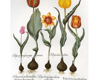 Besler Floreilegium Botanical Tulips, SALE Buy 3, get 1 Free