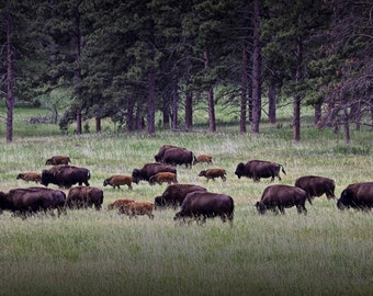 Custer State Park American Buffalo Bison Herd Wildlife Landscape Photograph No.0547