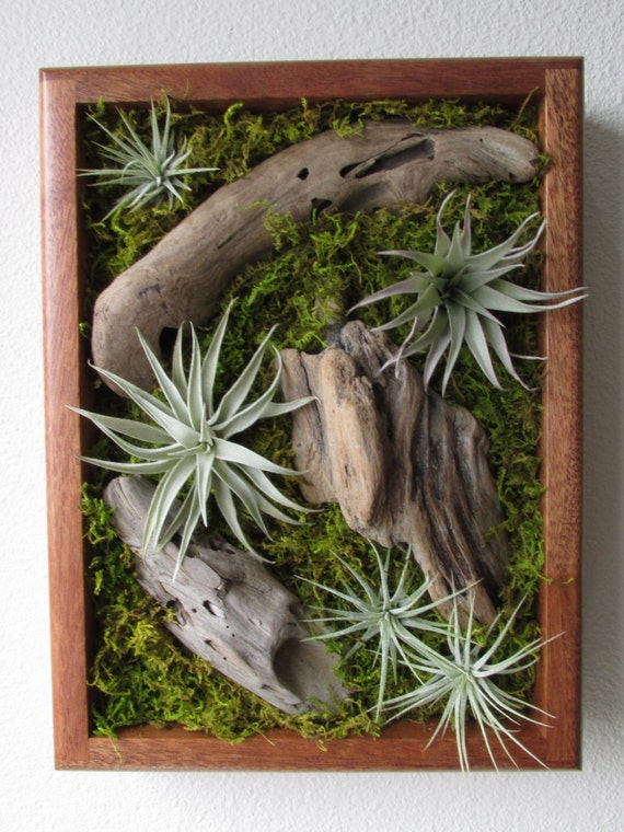 Tillandsia living wall air plant wall art by midnightinseattle for Air plant wall art