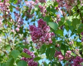 Lilac Flower Photography Pink and Lavender Lilacs Against Robins Egg Blue Sky Handcrafted Greeting Card
