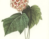 French Country Home Decor, Pink Snowball, Hydrangea Art (Redoute Flower Print No. 34)
