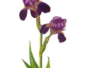 Iris Print, Botanical Art, Floral Artwork, Flower Watercolor Illustration by Janet Zeh Original Art