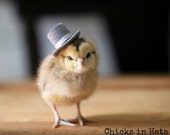 Photo Print 8x10 Chick Wearing A Top Hat Photograph Chicken Photography Chicks in Hats Baby Animal Picture