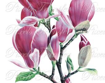 MAGNOLIA Instant Download, pink flowers, wedding clipart, botanical illustration 324