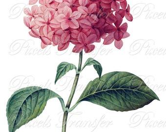 HYDRANGEA hortensia Instant Download, pink Wedding Clipart, Image Transfer, Digital Download, Botanical Illustration no.340