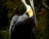 Home Decor, Nature Photography Pelican Bird, Fine Art, Southport North Carolina, 11x14