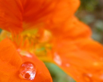 Nature Photography, Macro, Water Drops, Pacific Northwest, fPOE, Dewdrop on Orange Flower
