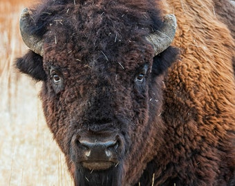 Nature Photography - Staring Contest - Bison / Buffalo - Grand Teton National Park