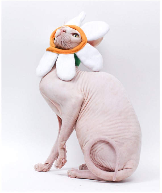 Hairless Cats in Clothes Cat Hat Sphynx Cat Clothes