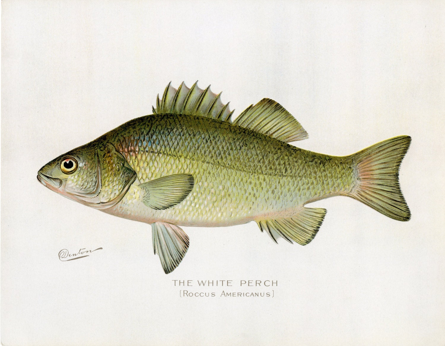 Denton white perch antique fish print new for Perch fish facts