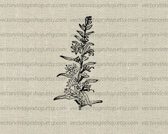 Flower Vector Instant Download, Loosestrife Blossom Graphic Plant Clipart, Vintage Style Victorian Nature Illustration WEB1740AT