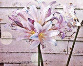 Farm Lilies Giclee Print 10x10