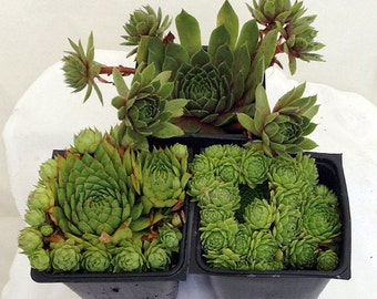 "Hens & Chicks Collection 3 Plants - Semperviven - Indoors or Out - 3"" Pots"