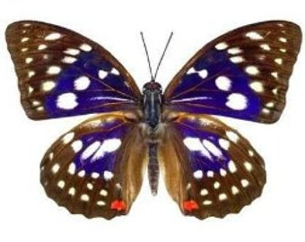"""Real  Sasakia charonda """"Great Purple Emperor"""" Butterfly, spread for your project or laminated or unmounted"""