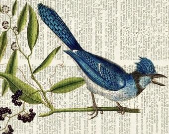 Blue Jay, Audubon print