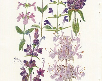 1927 Vintage Book Plate - Wild Flowers Of The West - Botanical - Flowers  / National Geographic / Mint Family