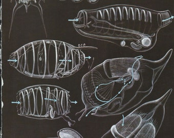 Vintage Book Plate - Ascidian / Tunicates / Acrania / double sided / Sea Life
