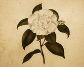 Antique Botanical Print White Camellia Japonica Flower 1830 Engraving Alfred Chandler Silver Wood Frame Wall Hanging Cottage Chic Decor