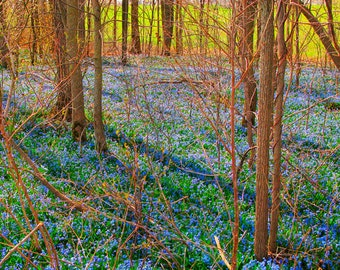 Purple flowers, metallic print, spring blooms, 8x12 photo, violet, enchanted forest, nature photo,  bluebells, bedroom decor, bathroom art