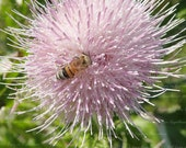 Fuzzy Honey Bee on Thistle Bloom, Bee Collecting Pollen on Pink Flower Photography, Pink Cottage Chic Decor, Choose 8x10 to 13x19 Print