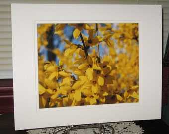 Matted, Forsythia, Spring, Blooming, Bush, Jeffersonville, Indiana, Fine Art, Photograph, Print, 8 x 10, Glossy