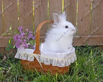 Cute White Furry Baby Bunny Rabbit Hare in a Basket Photo Fine Art Photography Print