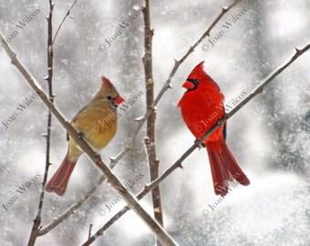 Snowy Cardinals Winter Birds Male & Female Fine Art Original Fine Art Photo Print
