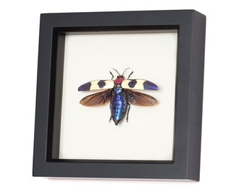 Real Framed Jewel Beetle Insect Display