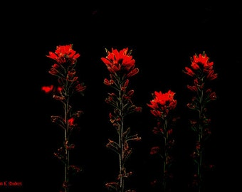 Indian Paintbrush, Dramatic Minimalist Art, Digital Flowers, Red Black Wildflower, Home Decor, Wall Hanging, Giclee Print, 8 x 10